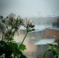 Geraniums and rain