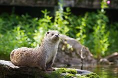 Yogi Otter Demonstrates Cobra Pose — The Daily Otter Cute Creatures, Beautiful Creatures, Animals Beautiful, Animals And Pets, Baby Animals, Cute Animals, River Otter, Otter Creek, Significant Otter