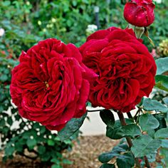 """The Prince Rose - the rose I want to add to my garden. This is a lovely English Rose, so it has a heavy romantic scent and dense petals. I also notice that they tend to bloom more frequently than """"new"""" roses (where as my cutting rose spends forever on each overly large bloom. Pretty, but they take forever and get my most hated enemy - earwigs!)"""