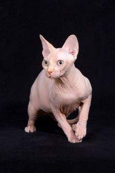Sang Royal Sphynx | Sphynx Cats & Kittens | Pinterest