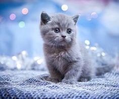 Soooo knuffig: Graue Kätzchen zum Dahinschmelzen