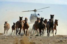 45 000 chevaux sauvages vont être abattus par le Gouvernement Américain pour…