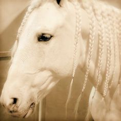 White show horse with braided mane - beautiful!