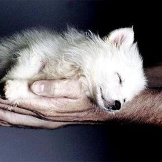 Funny pictures about Sleepy wolf. Oh, and cool pics about Sleepy wolf. Also, Sleepy wolf photos. Stuffed Animals, Beautiful Creatures, Animals Beautiful, Arktischer Wolf, Sleeping Wolf, Sleeping Beauty, Sleeping Animals, Tier Wolf, Baby Animals