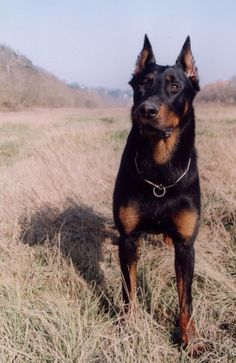 Harlequin beauceron / Beauce Shepherd / Chien Berger de Beauce #Dogs #Puppy