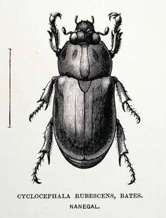 1891 Wood Engraving Cyclocephala Rubescens Bates Beetle Bug Andes Mountains | eBay