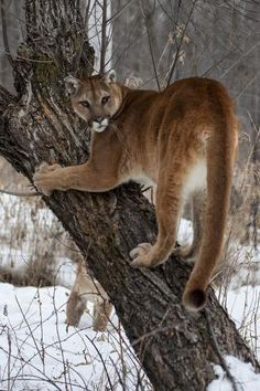 by Hollice Looney : Big Cats, Cats And Kittens, Mountain Lion, Find Art, Framed Artwork, Minnesota, Climbing, Tigers, Journalism
