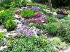 steingarten bepflanzen polsterpflanzen veilchen tulpen