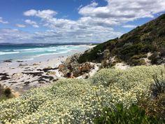 silver cushion bush in flower, coastal Tasmania