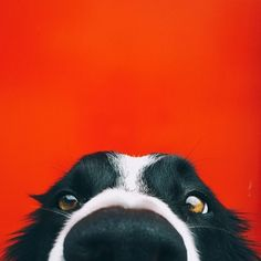 Momo is a border collie. He's hiding in all of these photos. Find Momo is a project by Andrew Knapp and Momo the hiding border collie. Cute Puppies, Cute Dogs, Dogs And Puppies, Doggies, Funny Dogs, All Dogs, I Love Dogs, Funny Animals, Cute Animals