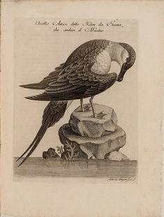 Antique natural history bird art.  Uccello Artico detto Nave da Guerra, che credesi il Maschio by peacay, via Flickr