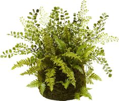 Mixed Fern Plant in