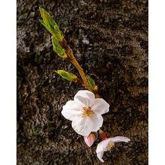【imageskystudio.tkai】さんのInstagramをピンしています。 《大きな桜の木の足元で見つけた小さな春。 2016.04 兵庫県 伊丹 #日本#春#サクラ#桜#さくら#お花見#花#風景#写真#カメラ#フォト#新緑#japan#spring #cherryblossom #flowers #flower #instaphoto #instapicture #instaflower #instaflowers #camera #canon#photography #photographers》