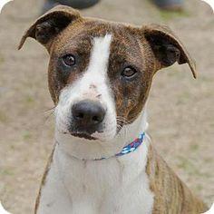 Bauxite, AR - Boxer. Meet Sadie, a dog for adoption. http://www.adoptapet.com/pet/11935437-bauxite-arkansas-boxer