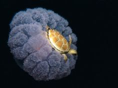 Turtle Ridding a Jellyfish!    Just thought this was cool. How does that little turtle not get stung?