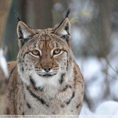 Eurasian Lynx by *Sikaris on deviantART (cat species series Beautiful Cats, Animals Beautiful, Cute Animals, Wild Animals, Baby Animals, Small Wild Cats, Big Cats, Cat Bobcat, Eurasian Lynx