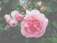 Art Photography, Rose, Garden, Flowers, Plants, Fine Art Photography, Pink, Garten, Lawn And Garden