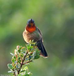 Orange-throated Sunangel - Heliangelus mavors