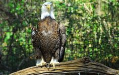 eagle   by Justbecausephoto