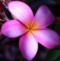 plumeria metallica thai so pretty