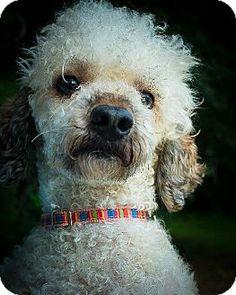 Providence, RI - Poodle (Miniature). Meet Ripley CJ $550 a Dog for Adoption.