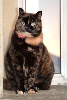 Tortoiseshell cat, Samba
