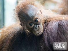 Sabah, bébé #orang-outan - ZooParc de Beauval