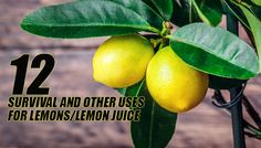 Fresh lemons may very well be hard to get a hold of during a crisis unless you live in an area that has mature lemon trees. If you do live in an area that can sustain lemon trees then why not plant one or more if you have the space. You can stock up on …