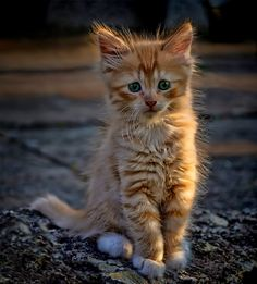 llbwwb: Hello :) (via Ginger kitten by Alla Serdyuk / Cute Little Kittens, Kittens Cutest, Cats And Kittens, Kitty Cats, I Love Cats, Crazy Cats, Cool Cats, Ginger Kitten, Ginger Cats