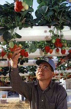 Build a Homemade Hydroponics System Cheaply. I need ti try something like this for my strawberries.