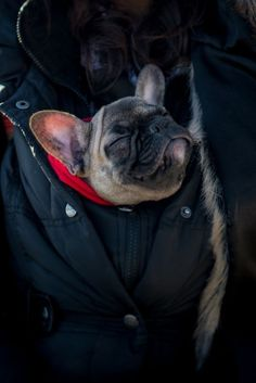 """Is that a Frenchie in your jacket or are you just happy to see me?"" French Bulldog Puppy. #Buldog"