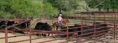 Build your own low cost cattle corrals for just the 1/3 cost of corral panel contact http://www.onemancorrals.com/