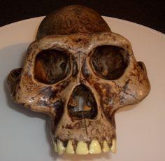 Australopithecus afarensis es un homínido extinto de la subtribu Hominina que vivió entre los 3,9 y 3 millones de años antes del presente. Era de contextura delgada y grácil, y se cree que habitó solo en África del este (Etiopía, Tanzania y Kenia). La mayoría de la comunidad científica aceptó que puede ser uno de los ancestros del género Homo.[cita requerida]