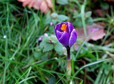 Crocus, Blossom, Bloom, Purple