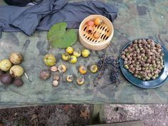 How to Process Acorns,  Persimmons, Hickory Nuts and Black Walnuts for Healthy living
