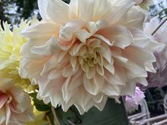 Dahlia dalliance…