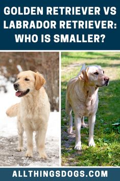When comparing the difference in Golden Retriever vs Labrador Retriever size, you will notice Goldens are slightly smaller on average. However, both breeds are recognized as being medium sized. Read on for more details.  #goldenretrievervslabrador #goldenretrievervslab #labradorvsgoldenretriever Large Dog Breeds, Large Dogs, Medium Sized Dogs, Dog Love, Labrador Retriever, Animals, Animais, Big Dogs, Labrador Retrievers