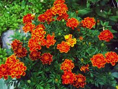 Left over bright orange Marigolds I planted in a pot ...the rest go to our sons gravesite ~