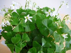 Shamrocks are a wonderful plant. They stay green year round and bloom constantly if they have bright indirect light. They like being on the patio from spring to early winter. Indoors by a window when it's cold.