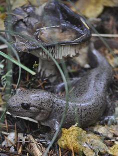 Salamanders have 550 species of amphibians and are typ. - Anita Smith Home Animals Of The World, Animals And Pets, Cute Animals, Lovely Creatures, Sea Creatures, Reptiles And Amphibians, Mammals, Giant Salamander, Chameleon Lizard