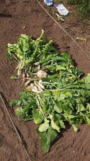 De raapstelen deden het goed dit jaar. Ik heb 2 keer van een veldje gesneden en daarna werden de bladeren eigenlijk te groot.
