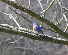 It's time to set up some bluebird houses. The hole should be 1-1/2 inches in diameter. The birdhouse (also known as a nesting box) should open easily for cleaning. It should have a waterproof roof and small holes in the bottom for drainage and air circulation. Boxes should not have perches. The bluebirds don't need them, and perches invite predator birds that damage eggs and hatchlings. Wooden nesting boxes may be left unfinished.