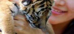 Tiger with butterfly