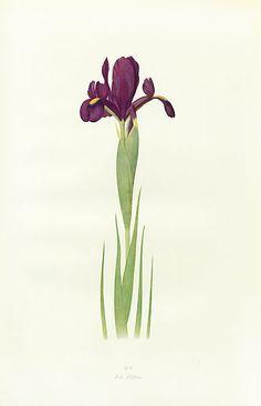 Dykes Iris Genus 1913