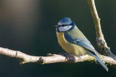 Norske vinterfugler - Dyr - Naturfakta Blue Tit, Creatures, Birds, Animals, Gardens, Colors, Art, Animales, Animaux