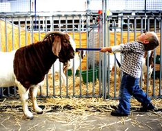 #goatvet likes this photo- A Boer goat NOT being lead by a child !