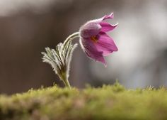 Wiosna, Kwiat, Sasanka