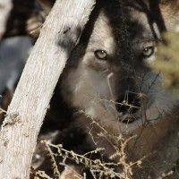 Conservation group sues – again – to protect Mexican gray wolf in Arizona