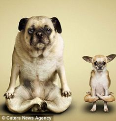 Clever canines: The contorted creatures, pictured mastering a series of tricky yoga positions, are the latest stars of a calendar created by photographer Dan Borris and his former yoga teacher wife Alejandra