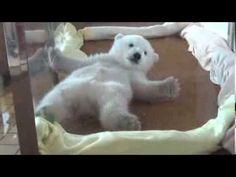 アドベンチャーワールド ホッキョクグマの赤ちゃん (2014/02/14)